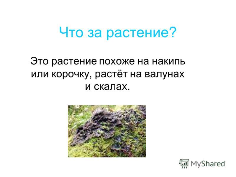 Что за растение? Это растение похоже на накипь или корочку, растёт на валунах и скалах.