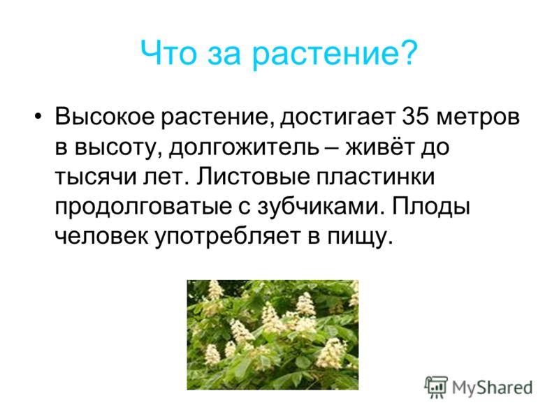 Что за растение? Высокое растение, достигает 35 метров в высоту, долгожитель – живёт до тысячи лет. Листовые пластинки продолговатые с зубчиками. Плоды человек употребляет в пищу.