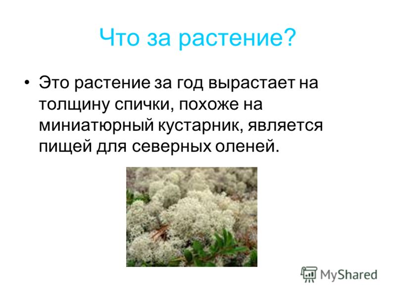 Что за растение? Это растение за год вырастает на толщину спички, похоже на миниатюрный кустарник, является пищей для северных оленей.