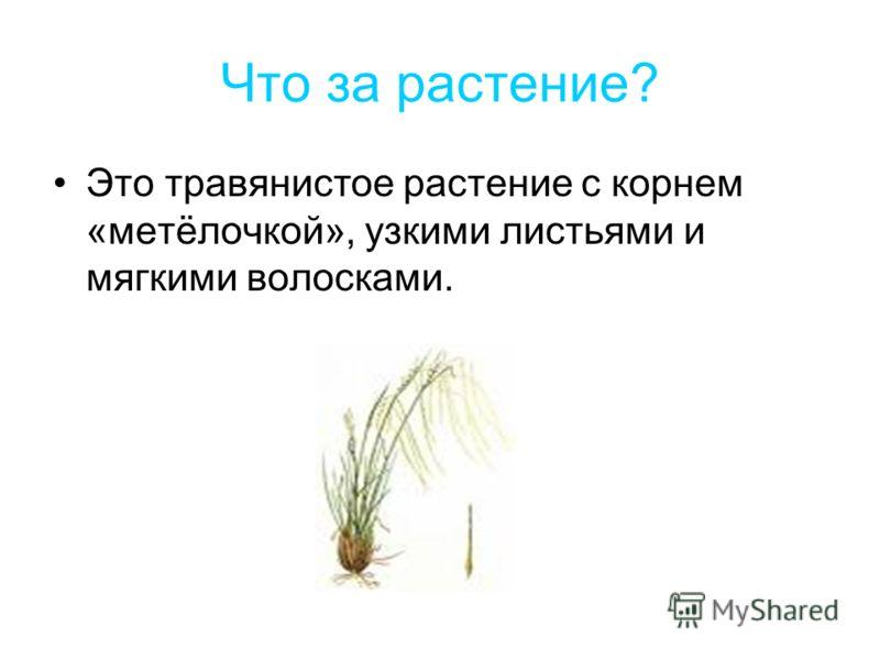 Что за растение? Это травянистое растение с корнем «метёлочкой», узкими листьями и мягкими волосками.