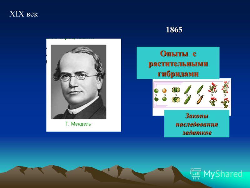 XIX век 1865 Опыты с растительными гибридами Законы наследования задатков