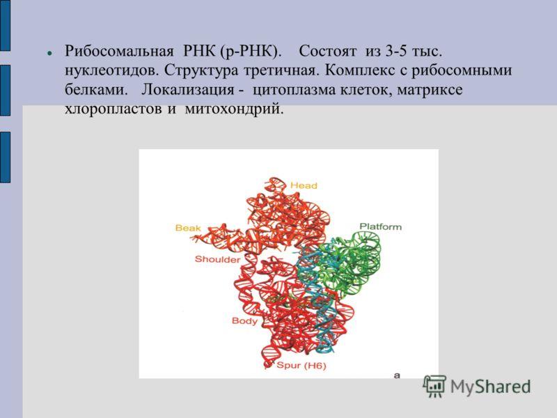 Рибосомальная РНК (р-РНК). Состоят из 3-5 тыс. нуклеотидов. Структура третичная. Комплекс с рибосомными белками. Локализация - цитоплазма клеток, матриксе хлоропластов и митохондрий.