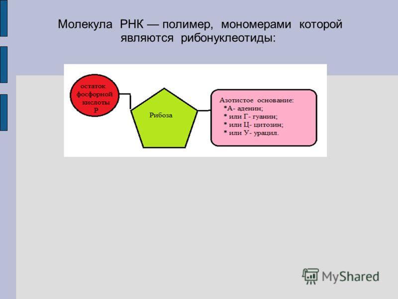 Молекула РНК полимер, мономерами которой являются рибонуклеотиды: