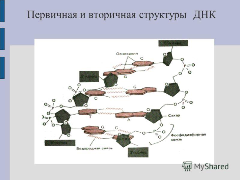 Первичная и вторичная структуры ДНК