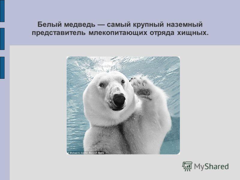 Белый медведь самый крупный наземный представитель млекопитающих отряда хищных.