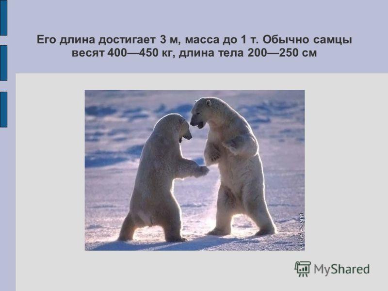Его длина достигает 3 м, масса до 1 т. Обычно самцы весят 400450 кг, длина тела 200250 см