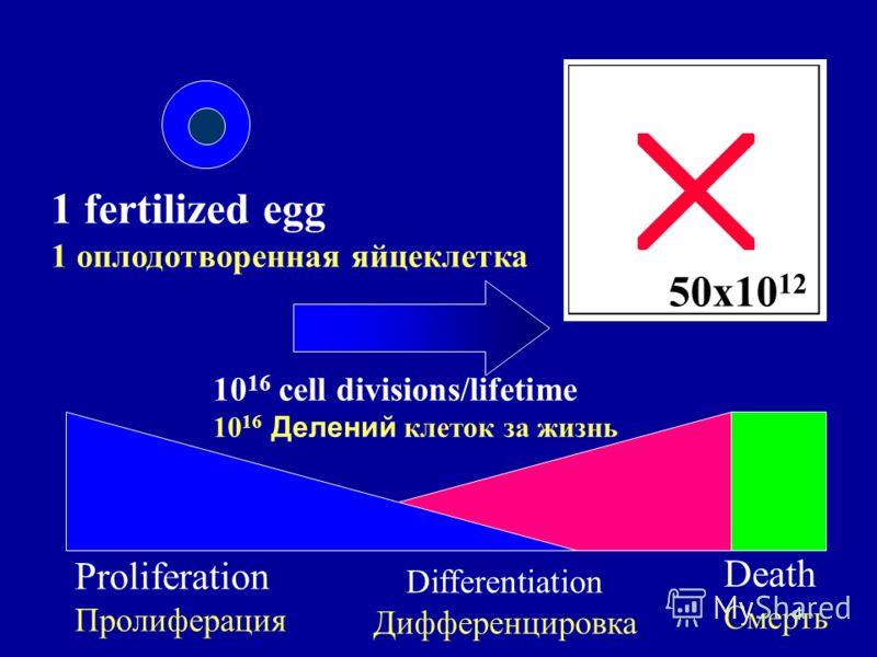 4 1 fertilized egg 1 оплодотворенная яйцеклетка 50x10 12 Proliferation Пролиферация Differentiation Дифференцировка Death Смерть 10 16 cell divisions/lifetime 10 16 Делений клеток за жизнь