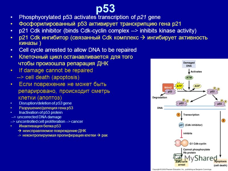 51 p53 Phosphyorylated p53 activates transcription of p21 gene Фосфорилированный р53 активирует транскрипцию гена р21 p21 Cdk inhibitor (binds Cdk-cyclin complex --> inhibits kinase activity) р21 Cdk ингибитор (связанный Cdk комплекс ингибирует актив