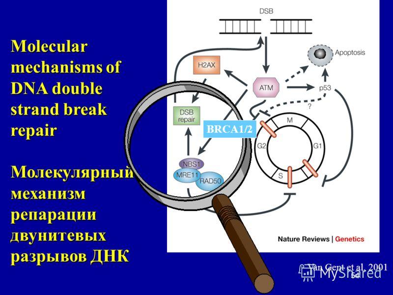 54 Van Gent et al, 2001 Molecular mechanisms of DNA double strand break repair Молекулярный механизм репарации двунитевых разрывов ДНК BRCA1/2