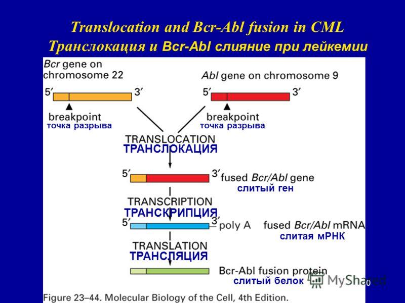 60 Translocation and Bcr-Abl fusion in CML Транслокация и Bcr-Abl слияние при лейкемии точка разрыва ТРАНСЛОКАЦИЯ слитый ген ТРАНСКРИПЦИЯ слитая мРНК ТРАНСЛЯЦИЯ слитый белок