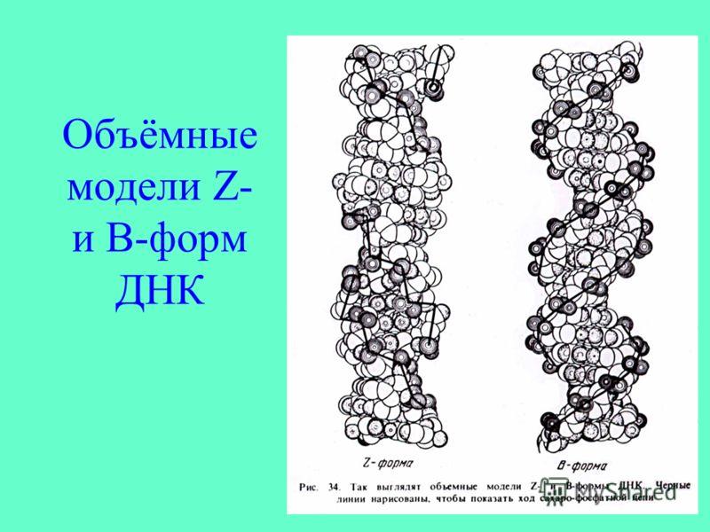 Объёмные модели Z- и B-форм ДНК