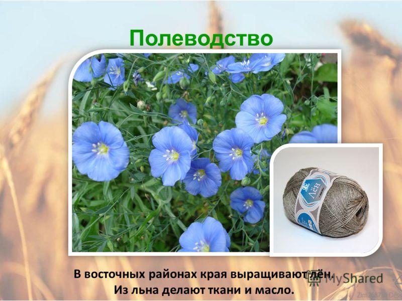 Полеводство В Алтайском крае выращивают кормовую и сахарную свёклу.