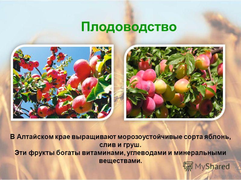 Плодоводство Плодоводство – это выращивание плодовых и ягодных культур. Ценной ягодной культурой, выращиваемой в Алтайском крае, является облепиха. Из неё получают облепиховое масло, добавляют в лекарства, готовят варенье и компот.
