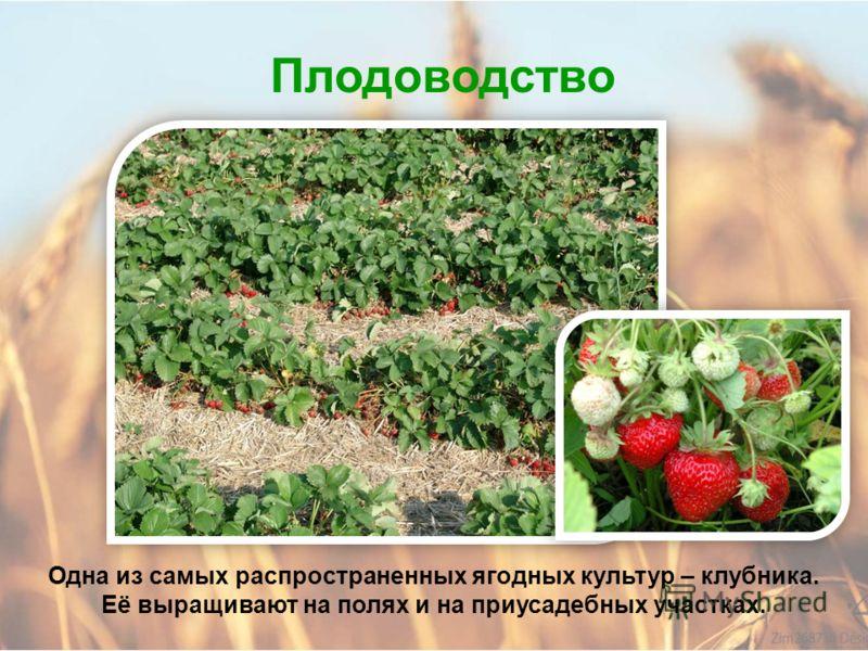 Плодоводство В Алтайском крае выращивают морозоустойчивые сорта яблонь, слив и груш. Эти фрукты богаты витаминами, углеводами и минеральными веществам