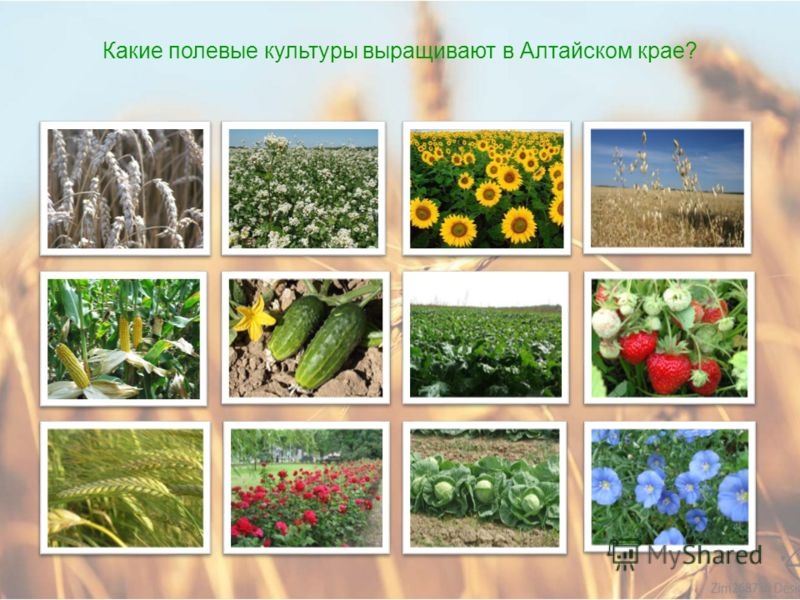 Как развито растениеводство в Алтайском крае?