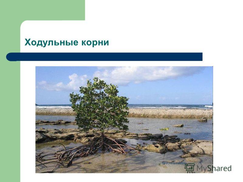 Ходульные корни Красные мангры