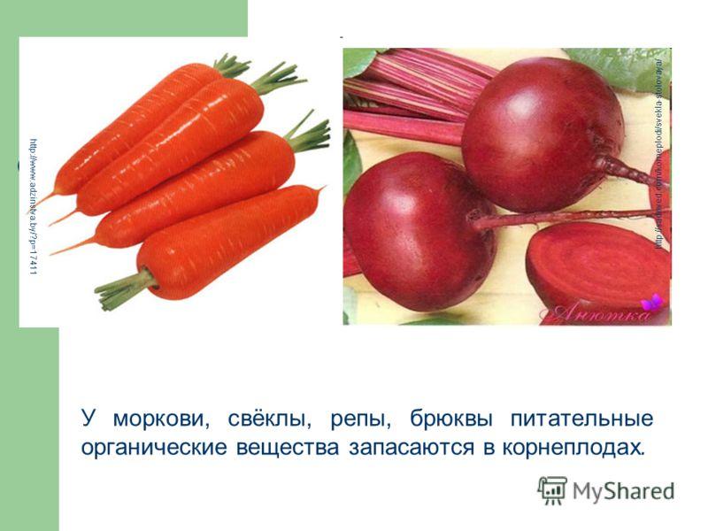У моркови, свёклы, репы, брюквы питательные органические вещества запасаются в корнеплодах. http://www.adzinstva.by/?p=17411 http://sadoved.com/korneplodi/svekla-stolovaya/