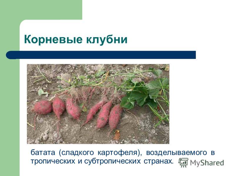 Корневые клубни батата (сладкого картофеля), возделываемого в тропических и субтропических странах.