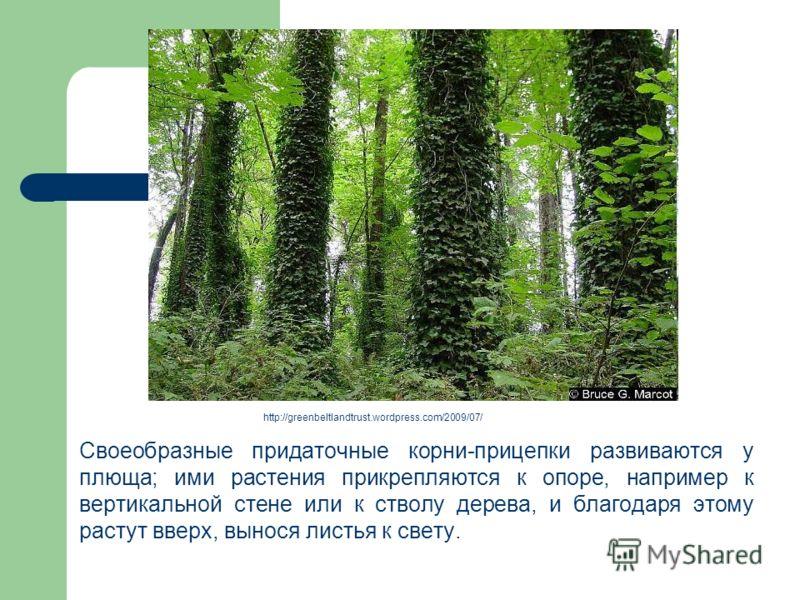 Своеобразные придаточные корни-прицепки развиваются у плюща; ими растения прикрепляются к опоре, например к вертикальной стене или к стволу дерева, и благодаря этому растут вверх, вынося листья к свету. http://greenbeltlandtrust.wordpress.com/2009/07