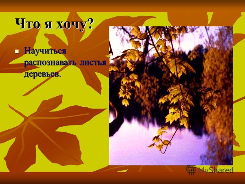 Что это за листья? Что это за листья? Презентация ученика 1 «а» класса Траковской чувашско-немецкой гимназии Красноармейского района Чувашской Республики Чувашской Республики