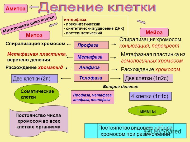 интерфаза : - пресинтетический - синтетический (удвоение ДНК) - постсинтетический Спирализация хромосом Спирализация хромосом, коньюгация, перекрест Метафазная пластинка, веретено деления Метафазная пластинка из гомологичных хромосом Расхождение хром
