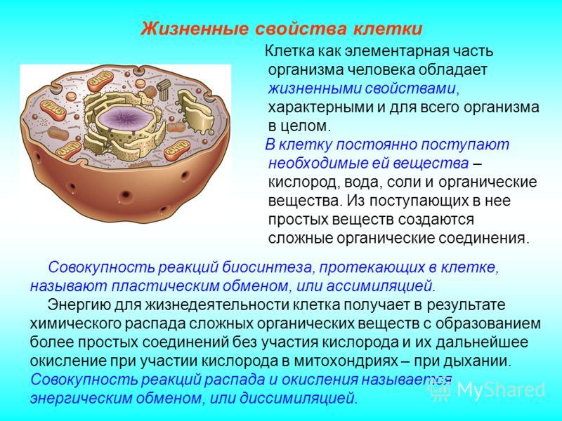 Клетка как элементарная часть организма человека обладает жизненными свойствами, характерными и для всего организма в целом. В клетку постоянно поступают необходимые ей вещества – кислород, вода, соли и органические вещества. Из поступающих в нее про