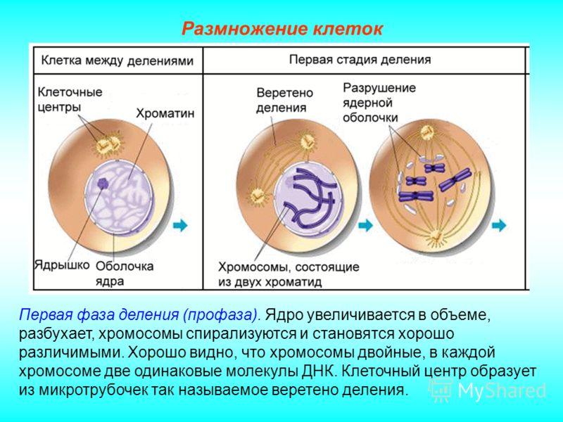 Размножение клеток Первая фаза деления (профаза). Ядро увеличивается в объеме, разбухает, хромосомы спирализуются и становятся хорошо различимыми. Хорошо видно, что хромосомы двойные, в каждой хромосоме две одинаковые молекулы ДНК. Клеточный центр об