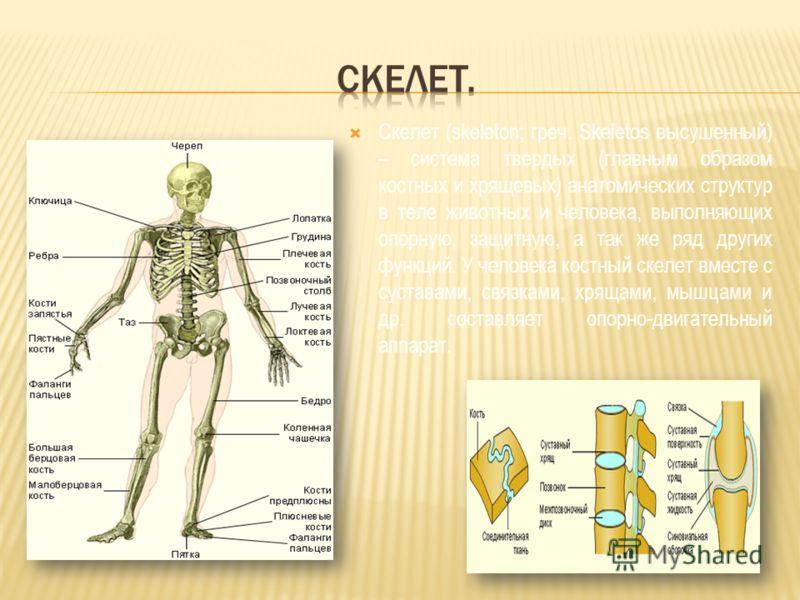 Скелет (skeleton; греч. Skeletos высушенный) – система твердых (главным образом костных и хрящевых) анатомических структур в теле животных и человека, выполняющих опорную, защитную, а так же ряд других функций. У человека костный скелет вместе с суст