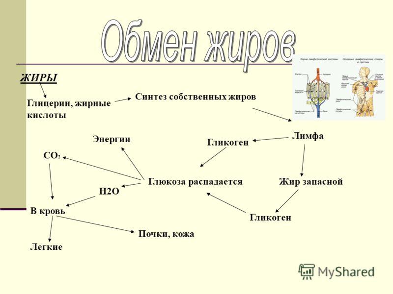 ЖИРЫ Глицерин, жирные кислоты Синтез собственных жиров Лимфа Жир запасной Гликоген Глюкоза распадается СO2СO2 H2O Энергии В кровь Легкие Почки, кожа