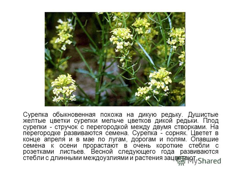 Сурепка обыкновенная похожа на дикую редьку. Душистые желтые цветки сурепки мельче цветков дикой редьки. Плод сурепки - стручок с перегородкой между двумя створками. На перегородке развиваются семена. Сурепка - сорняк. Цветет в конце апреля и в мае п