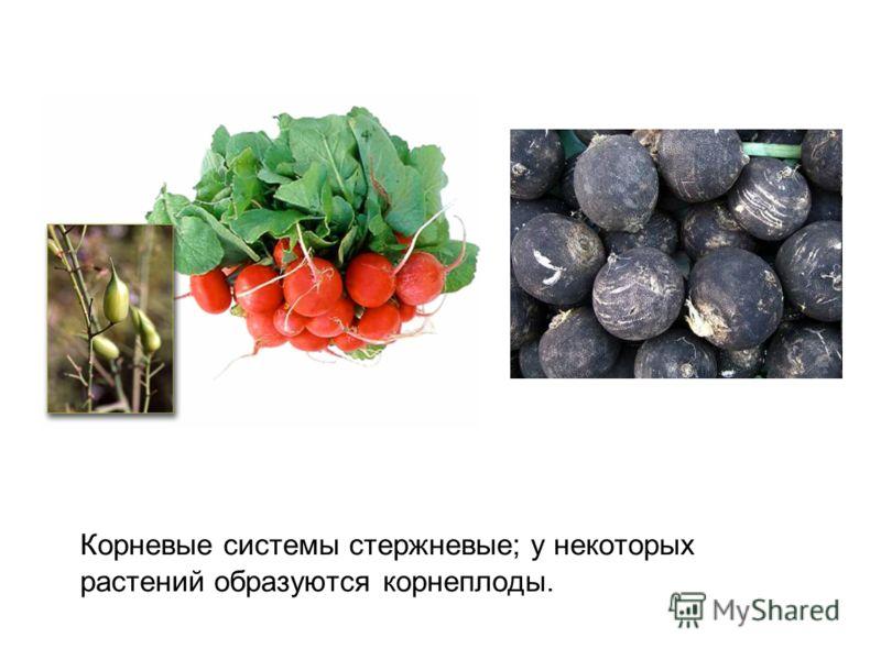 Корневые системы стержневые; у некоторых растений образуются корнеплоды.