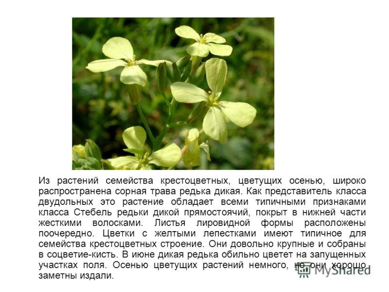 Из растений семейства крестоцветных, цветущих осенью, широко распространена сорная трава редька дикая. Как представитель класса двудольных это растение обладает всеми типичными признаками класса Стебель редьки дикой прямостоячий, покрыт в нижней част