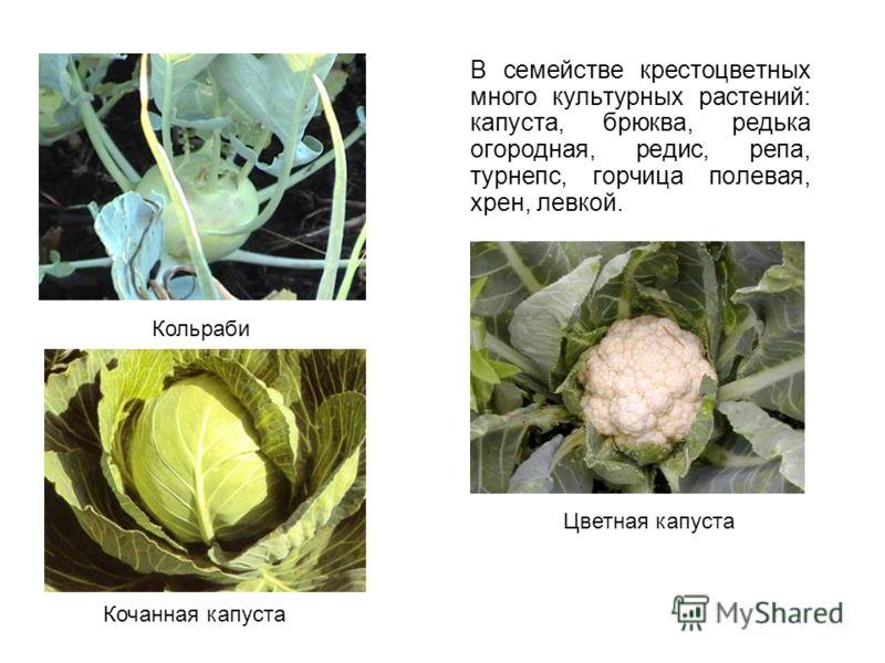 В семействе крестоцветных много культурных растений: капуста, брюква, редька огородная, редис, репа, турнепс, горчица полевая, хрен, левкой. Кольраби Кочанная капуста Цветная капуста