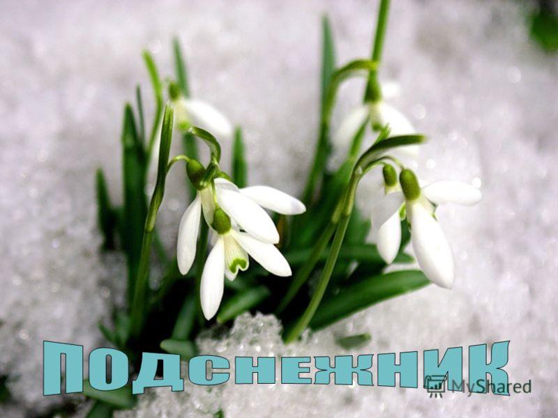 Пробивался сквозь снежок, Удивительный росток. Самый первый, самый нежный, Самый бархатный цветок!