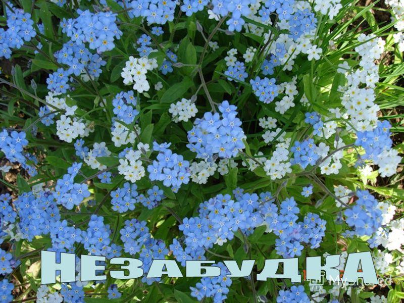 Цветочек этот голубой Напоминает нам с тобой О небе чистом-чистом, И солнышке лучистом! Говорит: «Счастливым будь! Ни о чём не позабудь!»