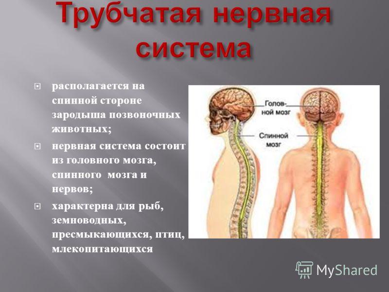 располагается на спинной стороне зародыша позвоночных животных ; нервная система состоит из головного мозга, спинного мозга и нервов ; характерна для рыб, земноводных, пресмыкающихся, птиц, млекопитающихся