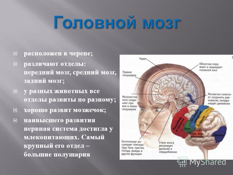 расположен в черепе ; различают отделы : передний мозг, средний мозг, задний мозг ; у разных животных все отделы развиты по разному ; хорошо развит мозжечок ; наивысшего развития нервная система достигла у млекопитающих. Самый крупный его отдел – бол