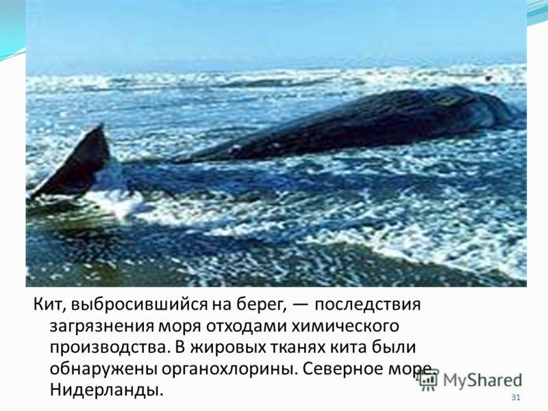 Кит, выбросившийся на берег, последствия загрязнения моря отходами химического производства. В жировых тканях кита были обнаружены органохлорины. Северное море. Нидерланды. 31