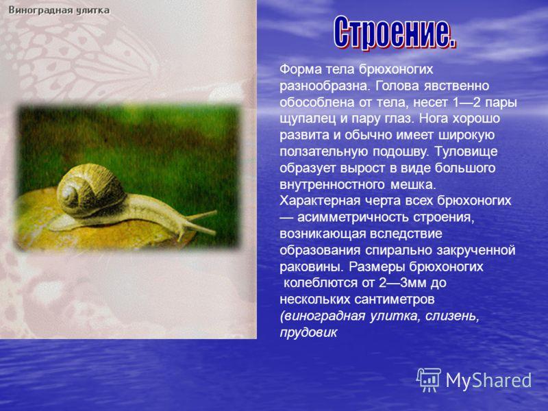 Презентация на тему:класс брюхоногие моллюски