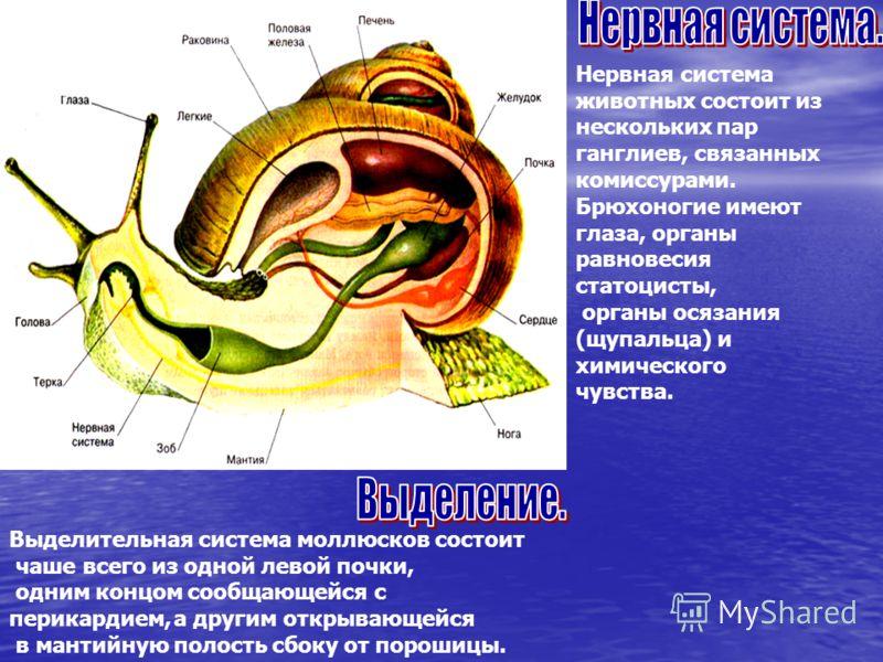 Нервная система животных состоит из нескольких пар ганглиев, связанных комиссурами. Брюхоногие имеют глаза, органы равновесия статоцисты, органы осязания (щупальца) и химического чувства. Выделительная система моллюсков состоит чаше всего из одной ле