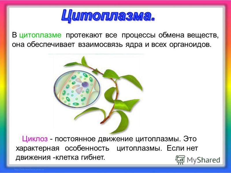 Циклоз - постоянное движение цитоплазмы. Это характерная особенность цитоплазмы. Если нет движения -клетка гибнет. В цитоплазме протекают все процессы обмена веществ, она обеспечивает взаимосвязь ядра и всех органоидов.