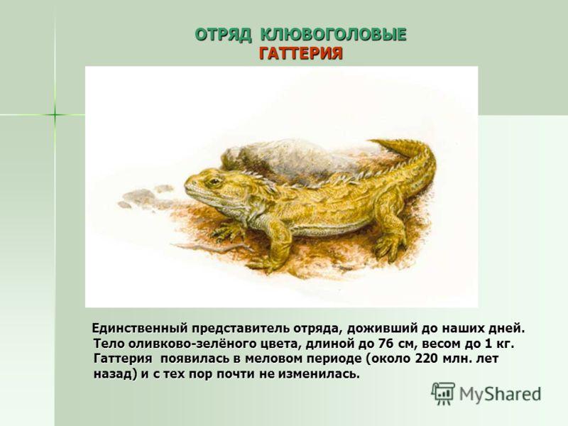 ОТРЯД КЛЮВОГОЛОВЫЕ ГАТТЕРИЯ Единственный представитель отряда, доживший до наших дней. Тело оливково-зелёного цвета, длиной до 76 см, весом до 1 кг. Гаттерия появилась в меловом периоде (около 220 млн. лет назад) и с тех пор почти не изменилась. Един