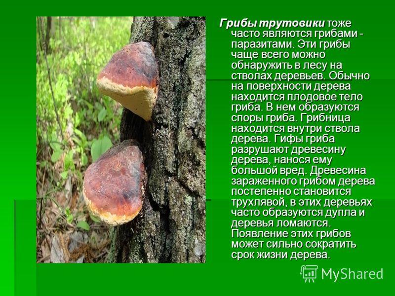 Грибы трутовики тоже часто являются грибами - паразитами. Эти грибы чаще всего можно обнаружить в лесу на стволах деревьев. Обычно на поверхности дерева находится плодовое тело гриба. В нем образуются споры гриба. Грибница находится внутри ствола дер