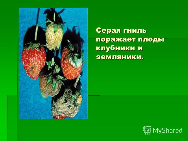 Серая гниль поражает плоды клубники и земляники.