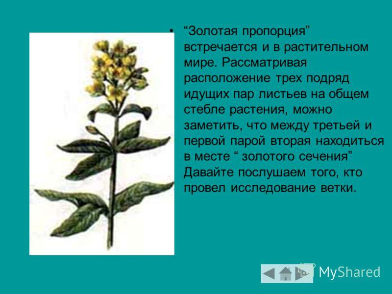 Золотая пропорция встречается и в растительном мире. Рассматривая расположение трех подряд идущих пар листьев на общем стебле растения, можно заметить, что между третьей и первой парой вторая находиться в месте золотого сечения Давайте послушаем того