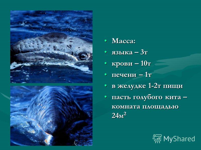 Масса:Масса: языка – 3тязыка – 3т крови – 10ткрови – 10т печени – 1тпечени – 1т в желудке 1-2т пищив желудке 1-2т пищи пасть голубого кита – комната площадью 24м 2пасть голубого кита – комната площадью 24м 2