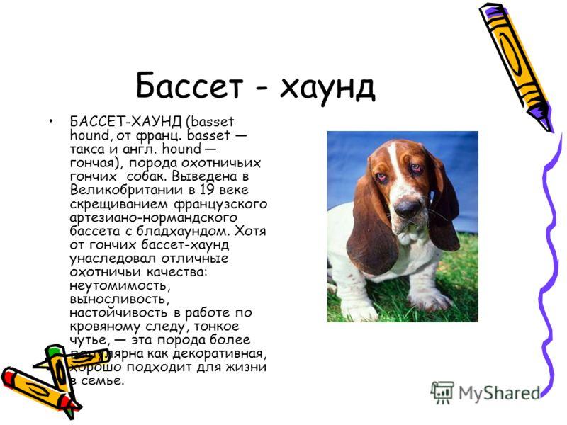 Бассет - хаунд БАССЕТ-ХАУНД (basset hound, от франц. basset такса и англ. hound гончая), порода охотничьих гончих собак. Выведена в Великобритании в 19 веке скрещиванием французского артезиано-нормандского бассета с бладхаундом. Хотя от гончих бассет