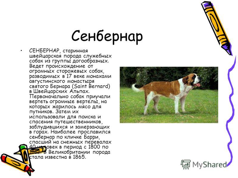 Сенбернар СЕНБЕРНАР, старинная швейцарская порода служебных собак из группы догообразных. Ведет происхождение от огромных сторожевых собак, разводимых в 17 веке монахами августинского монастыря святого Бернара (Saint Bernard) в Швейцарских Альпах. Пе