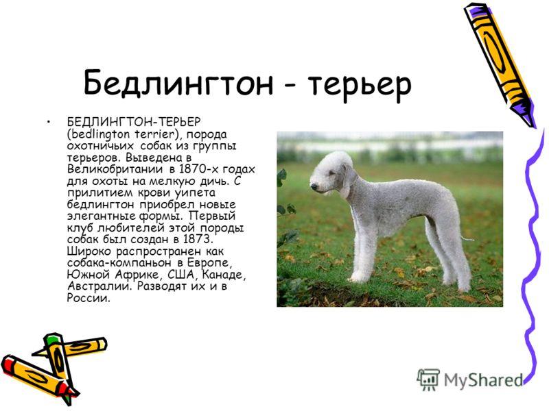 Бедлингтон - терьер БЕДЛИНГТОН-ТЕРЬЕР (bedlington terrier), порода охотничьих собак из группы терьеров. Выведена в Великобритании в 1870-х годах для охоты на мелкую дичь. С прилитием крови уипета бедлингтон приобрел новые элегантные формы. Первый клу