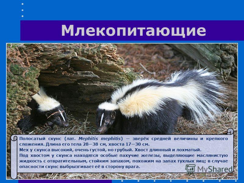 Полосатый скунс (лат. Mephitis mephitis) зверёк средней величины и крепкого сложения. Длина его тела 2838 см, хвоста 1730 см. Мех у скунса высокий, очень густой, но грубый. Хвост длинный и лохматый. Под хвостом у скунса находятся особые пахучие желез